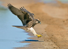 peregrine-falcon-images-info%2006.jpg